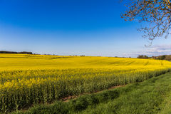 Field of Rapeseed Plants Stock Photo