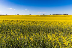 Field of Rapeseed Plants Stock Images