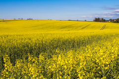 Field of Rapeseed Plants Royalty Free Stock Photo