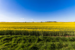 Field of Rapeseed Plants Stock Photos