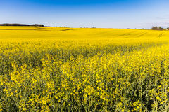 Field of Rapeseed Plants royalty free stock images