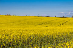 Field of Rapeseed Plants Royalty Free Stock Image