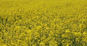Field of Rapeseed, rack focus stock footage