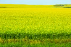 A Field of Rapeseed stock photos
