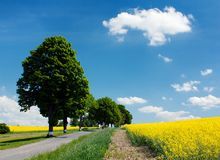 Field of rapeseed with road and alley Royalty Free Stock Image