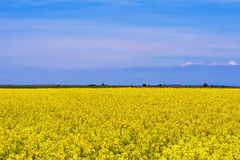 Field of Rapeseed. In Romania Royalty Free Stock Images
