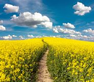 Field of rapeseed with rural road and beautiful cloud Royalty Free Stock Images