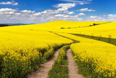 Field of rapeseed with rural road and beautiful cloud Stock Photography