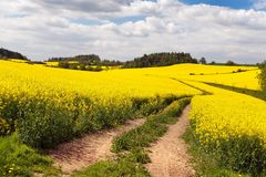Field of rapeseed with rural road Royalty Free Stock Image