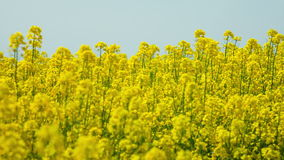 Field of rapeseed stock video footage
