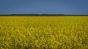 Field of rapeseed in spring bloom on a field in Romania royalty free stock photo