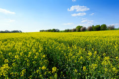 Field of rapeseed in spring Royalty Free Stock Photography