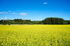 Field of rapeseed in summer stock image