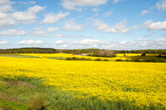 A field with rapeseed on a summerday Royalty Free Stock Photography
