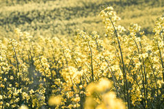 Field of rapeseed. At sunny day Stock Photography