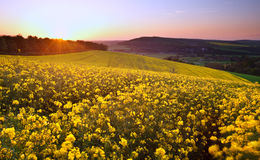 Field of rapeseed at sunrise landscape Stock Photography