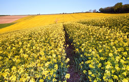 Field of rapeseed at sunrise landscape Stock Photos