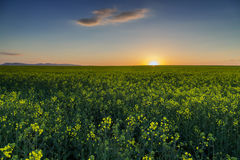 Field of rapeseed at sunset Stock Photography