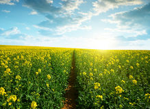 Field of rapeseed in the sunset. Stock Photos