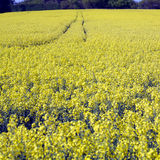 Field of rapeseed and track. A field of yellow rape seed with a track through the middle Royalty Free Stock Photography