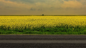 Field of rapeseed Royalty Free Stock Images
