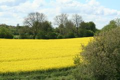Field, Rapeseed, Yellow, Canola royalty free stock photo
