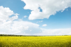 Field of rapeseed Royalty Free Stock Photography