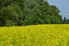 Field, Rapeseed, Yellow, Mustard Plant royalty free stock image