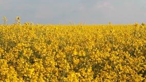 field rapeseeden stock video