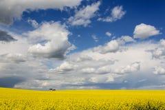 field rapeseeden Arkivfoto