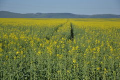 Field of rapeseeds Royalty Free Stock Photo