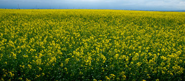 Field of rapeseeds Royalty Free Stock Images