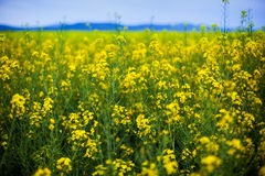 Field of rapeseeds Stock Photos