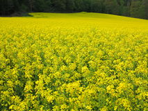 Field of rape seeds Royalty Free Stock Photography