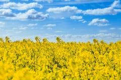 field rapsfeld рапса стоковое изображение