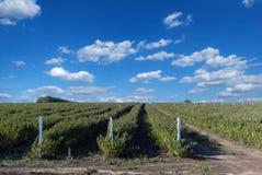 Field with raspberries Stock Photos