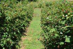 Field of raspberries royalty free stock photos