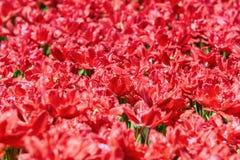 field röda tulpan Arkivfoton