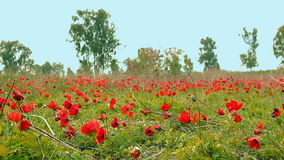 Field of red anemones stock footage