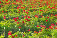 Field of red anemones Royalty Free Stock Image