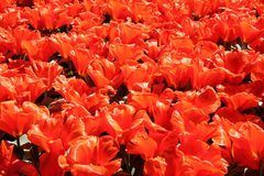 Field of red beautiful tulips close up. Spring time in Keukenhof flower garden, Netherlands royalty free stock photos