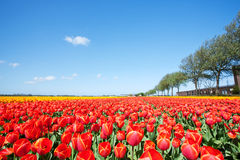 Field with red blooming tulips in the Netherlands Royalty Free Stock Photos