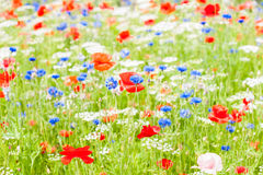 Field red blue and whit flowers amongst green Royalty Free Stock Images