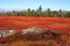 Field of red blueberry leaves with trees and rock. A large field of blueberry bushes as their leaves turn red in the very late fall with a large rock formation Royalty Free Stock Photos