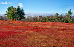 Field of red blueberry leaves with trees and sky Stock Images