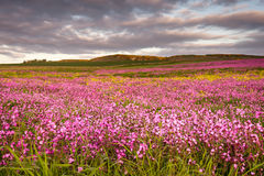 Field of Red Campion Stock Image