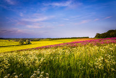 Field of Red Campion at Sunset Royalty Free Stock Images