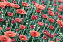 Field red chrysanthemums floral background. Many colorful mums flowers close-up photo. Selective focus.  royalty free stock photo