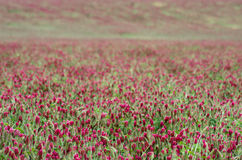 Field of red clover flowers as background Royalty Free Stock Photo