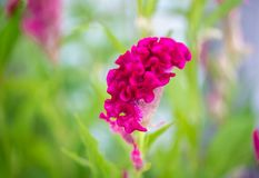 Field of red Cockscomb or Crested celosia in the park. Red cockscomb flower,Chinese Wool flower, with green leaves. The flower looks like the head on a royalty free stock images